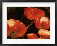 Framed Abundant Poppies