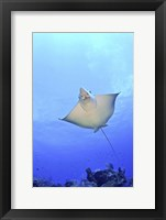 Framed Spotted Eagle Ray Glides over the Wall, Grand Cayman