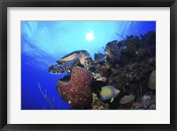 Framed Hawksbill Sea Turtle eating, Castle Wall, Grand Cayman