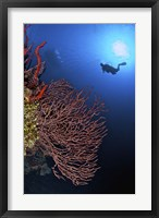 Framed Gorgonian sea fan, Cayman Islands