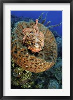 Framed Scorpionfish hiding in a barrel sponge