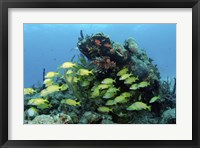 Framed Reefscape with school of striped grunts
