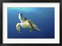 Framed Hawksbill sea turtle ascending, Nassau, The Bahamas