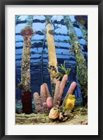 Framed Tube sponges on the Wreck of the Willaurie, Nassau, The Bahamas
