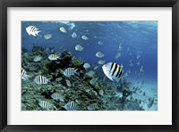 Framed School of sergeant major fish, Nassau, The Bahamas