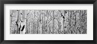 Framed Aspen trees in a forest