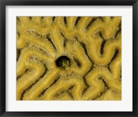 Framed Small blenny in brain coral, Curacao