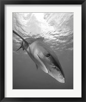 Framed Oceanic Whitetip Shark, Cat Island, Bahamas