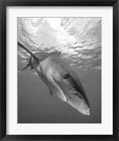 Framed Oceanic Whitetip Shark, Cat Island, Bahamas