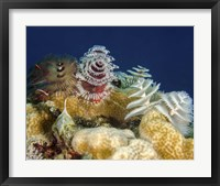 Framed Multiple Christmas Tree worms, Curacao