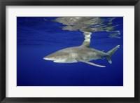 Framed Oceanic Whitetip shark