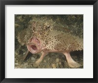 Framed Batfish close-up, West Palm Beach, Florida