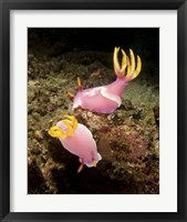 Framed Pair of pink Nudibranchs, Lembeh Strait, Indonesia