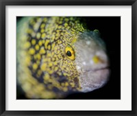 Framed Snowflake Moray Eel in Costa Rica