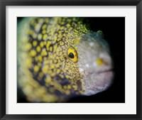 Framed Snowflake Moray Eel in Costa Rica