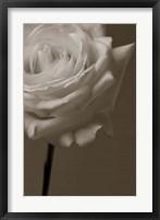 Framed Sepia Rose
