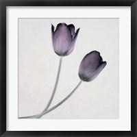 Framed Tulip IV