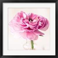 Framed Ranuncula Pink II