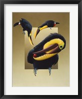Framed Chestnut-Mandibled Toucans