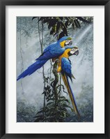Framed Blue And Yellow Macaws 2