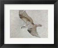 Framed Searching Osprey