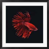 Framed Red Betta Fish
