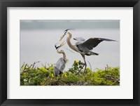 Framed Great Blue Heron (Ardea herodias)