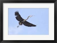 Framed Washington State, Redmond, Great Blue Heron