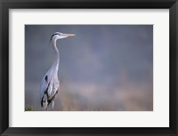 Framed Great Blue Heron