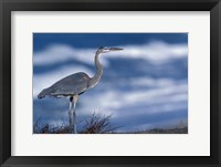 Framed Great Blue Heron, Half Moon Bay, California,