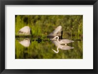 Framed Great Blue Heron Feeds in Katahdin Lake, Maine,