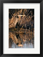 Framed OR, Baskett Slough NWR, Great Blue Heron bird