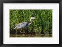 Framed Oregon, Baskett Slough, Great Blue Heron bird