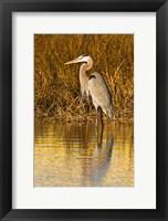 Framed Great Blue Heron standing in Salt Marsh