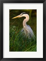 Framed Great Blue Heron, stalking prey in wetland, Texas