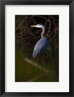 Framed Great Blue Heron roosting, willow trees, Texas