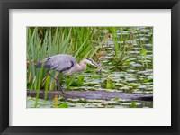 Framed Great Blue Heron bird, Juanita Bay Wetland, Washington
