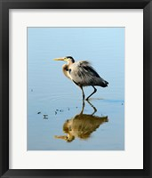 Framed Great Blue Heron in Ridgefield NWR, Ridgefield, Washington