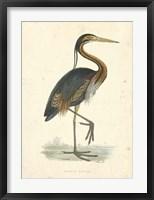 Framed Vintage Purple Heron