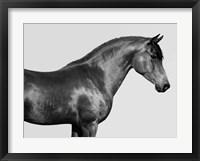 Framed Orpheus, Arab Horse