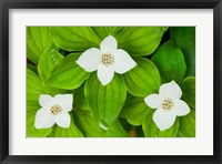 Framed Bunchberry in Bloom on Monadnock Mountain, Lemington, Vermont