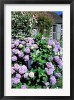 Framed Massachusetts, Nantucket, Siasconset, Home Flowers