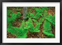 Framed Ferns Next to Woodman Brook, Tributary of the Lamprey River, New Hampshire