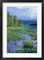 Framed Pickerel Weed, Pontook Reservoir, Androscoggin River, New Hampshire