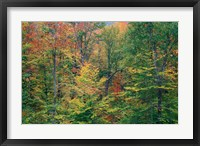 Framed Fall in Northern Hardwood Forest, New Hampshire