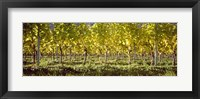 Framed Vineyard, Barcelona, Spain