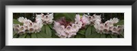 Framed Close-Up of Rhododendron Flowers