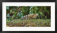 Framed Iguana, Costa Rica