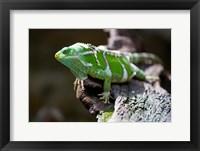 Framed Fiji Crested Iguana, Kula Eco Park, Viti Levu, Fiji