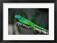 Framed Fijian Iguana lizard, Viti Levu, Fiji
